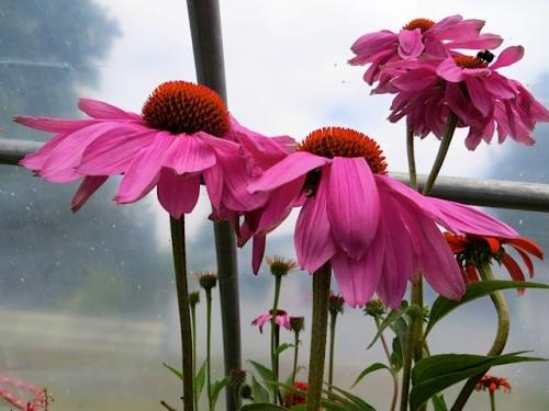 Echinacea looking fabulous
