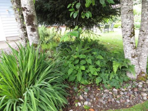 between the driveway and the lawn is a deep shade garden with Hellebores and ferns amid alders and one conifer.