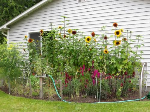 "sunflowers against the ""extra house"""