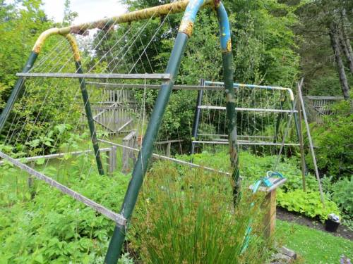 an old swingset used as trellising near the garden shed