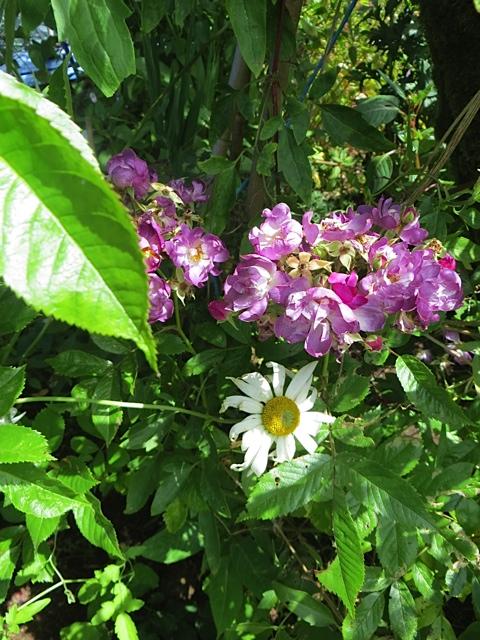 Veilchenblau rose, a climber
