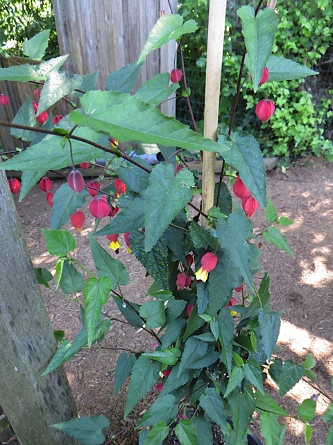 This vine was in dappled shade by the patio. I wish I could recall its name.