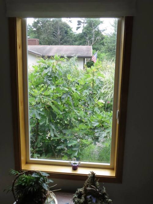 From this window, the view west has been blocked by the fig tree.
