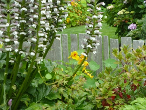 Allan's Acanthus photo (outside fence)