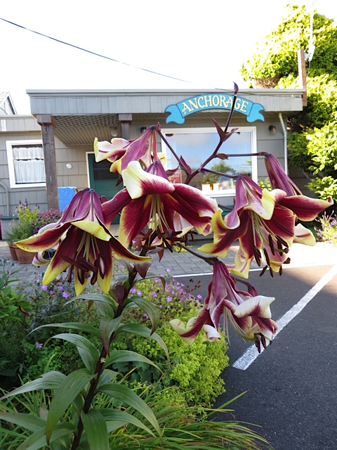 Anchorage lilies