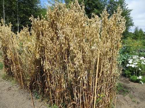 a stand of grain