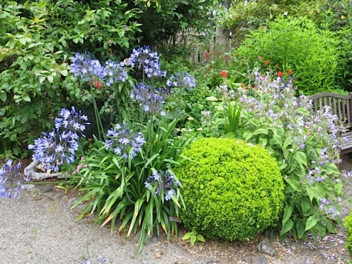 the blues:  Agapanthus and Strobilanthes