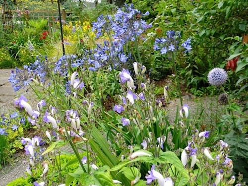 Strobilanthes backed with Agapanthus with a blue globe thistle to the side.