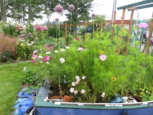 "garden boat (The ""Ann Lovejoy"") with cosmos and elephant garlic."