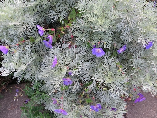 at the boatyard...I love Geranium 'Rozanne' mingling with Artemisia 'Powis Castle'.