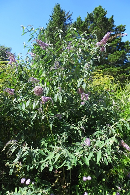 Buddliea 'Blueberry Cobbler'