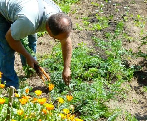 carrot, Allan's photo