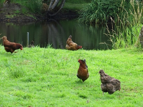 chickens by the water