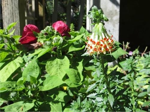Glumicalyx gloseloides...supremely fragrant nodding chocolate flower!
