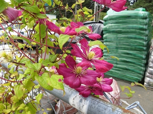 I admired a beautiful Clematis for sale.