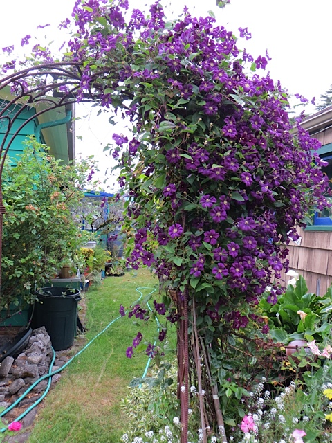 Clematis 'Etoile Violette' still going strong