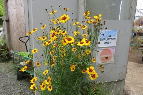 an annual coreopsis