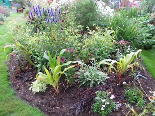 all of four corn plants squeezed in with ornamentals.