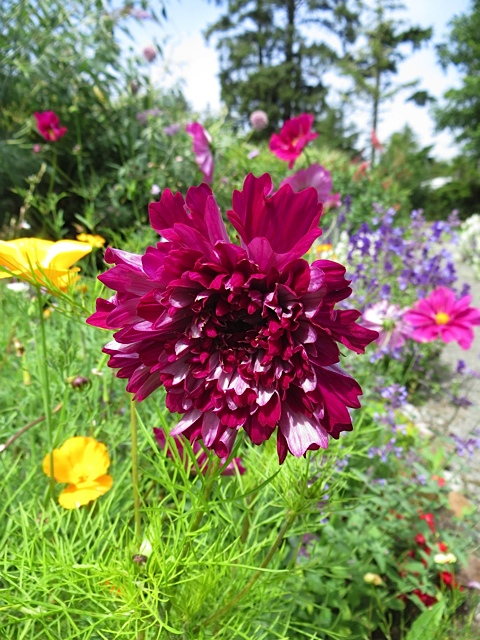 Cosmos 'Cranberry Double Click'