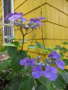 "hydrangeas by ""Mummu's house"""