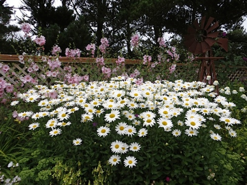 daisies topped with Lavatera 'Barnsley'