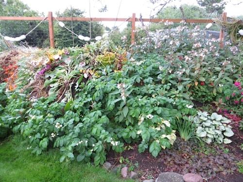potatoes growing on debris pile