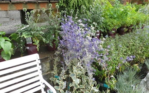 Eryngium 'Jade Frost' for sale backed with Echinops 'Arctic Glow'