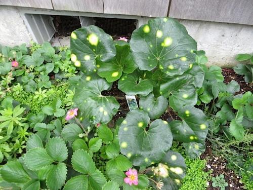 Gene planted this Farfugium.