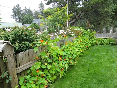 fence with nasturtiums