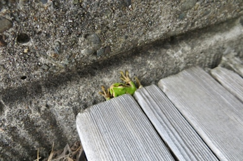 Pacific tree frog hiding by the bench