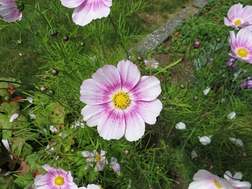 Cosmos 'Happy Ring' at Marilyn's