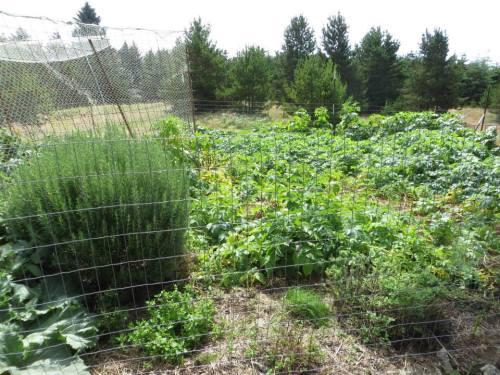 rosemary and veg