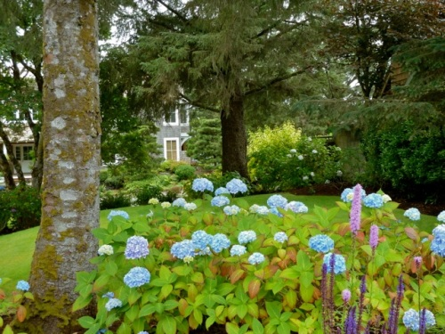 Allan's view of the hydrangeas