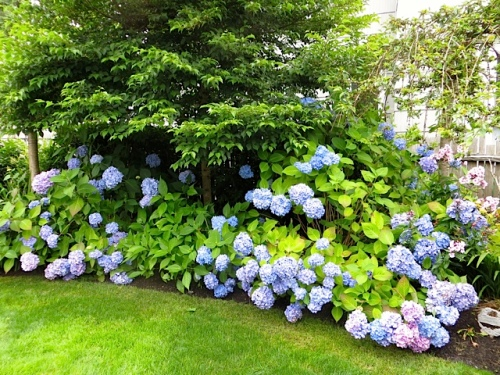 along the fence, hydrangeas