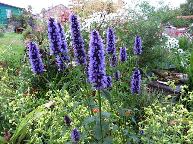 agastache blue fortune tangly cottage gardening journal. Black Bedroom Furniture Sets. Home Design Ideas