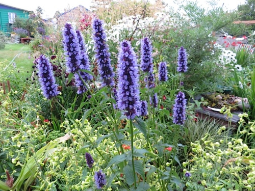 Agastache 'Blue Fortune'; hyssop counts as an herb!