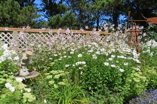 At Jo's: a large patch of daisies to deadhead