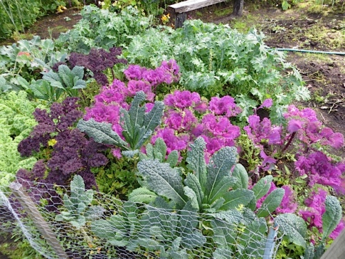 colourful kale