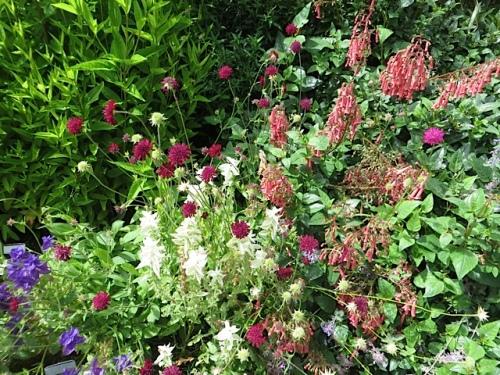 Knautia macedonica, Phygelius, Salvia viridis