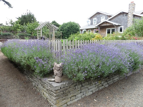 lavender edging