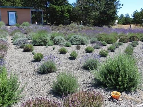 geometric lavender