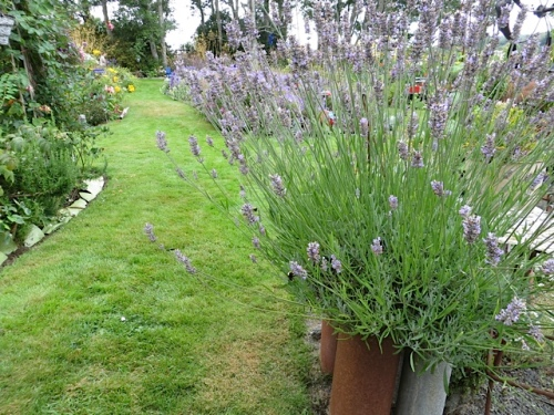 lavender as one enters the back yard