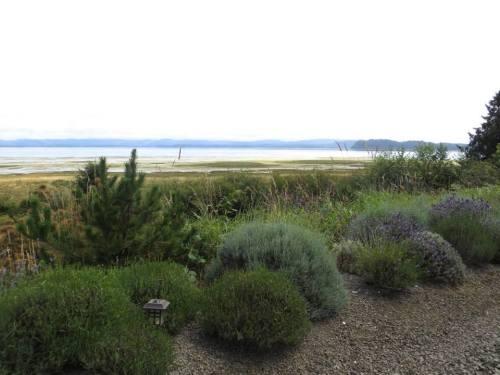 lavender bed curving along the bayfront