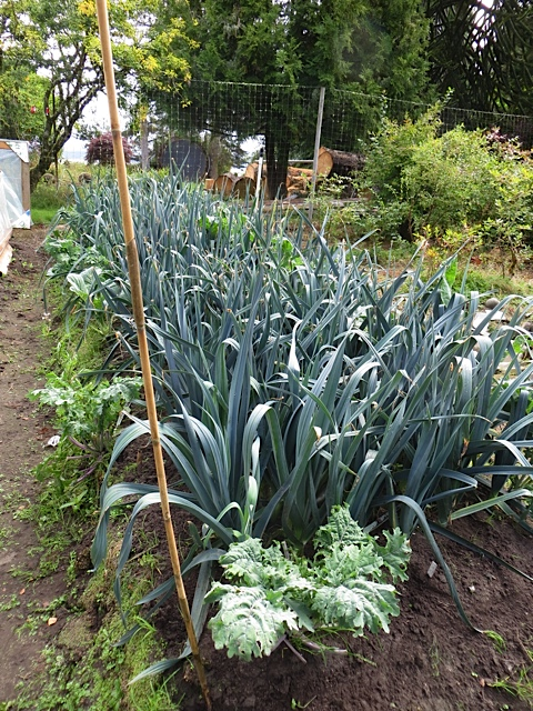 a beautiful glaucous blue row of leeks
