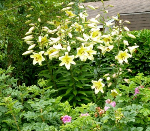 Allan's closeup of the pale yellow lilies