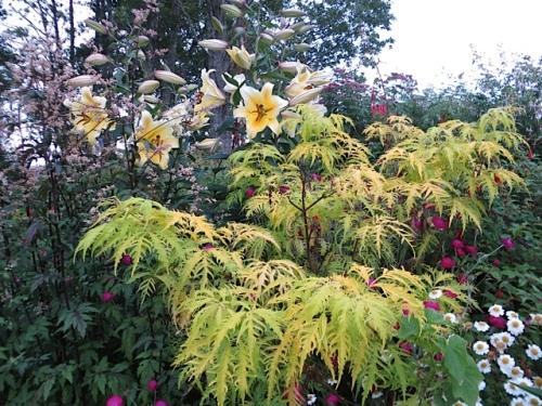 Lilies with Sambucus 'Sutherland Gold'