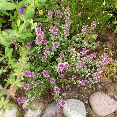 This variegated thyme also caught their eye.