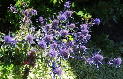In Mike's garden:  Eryngium 'Jade Frost'