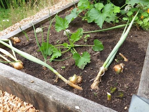 nice plump onions