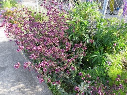 gorgeous 'Hopley's Purple' oregano